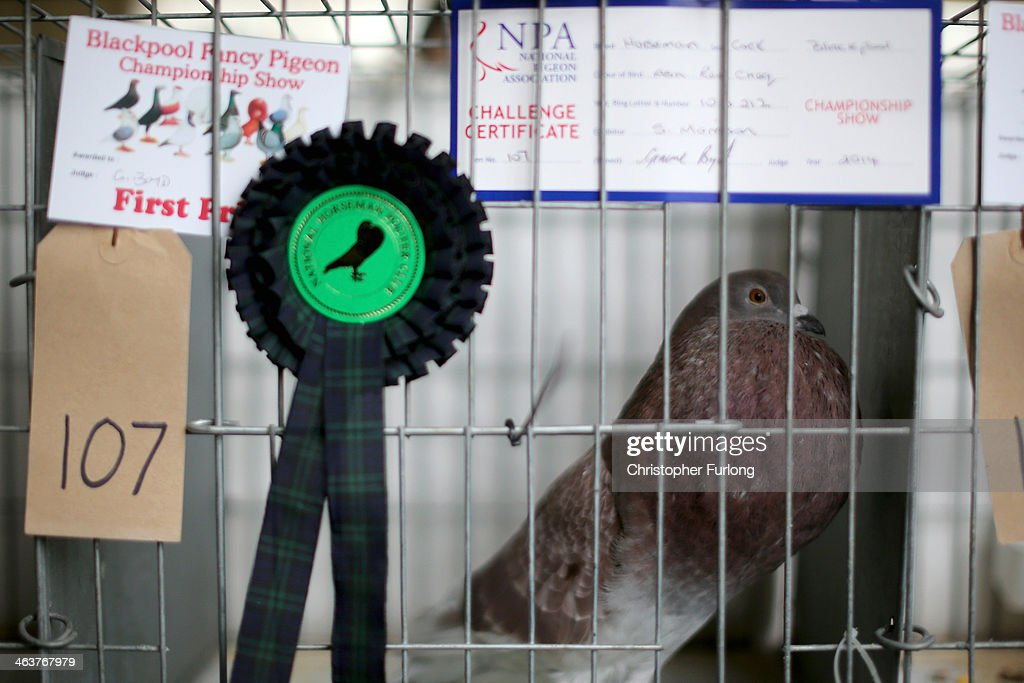 Pigeon Fanciers Gather For Show Of The Year : News Photo