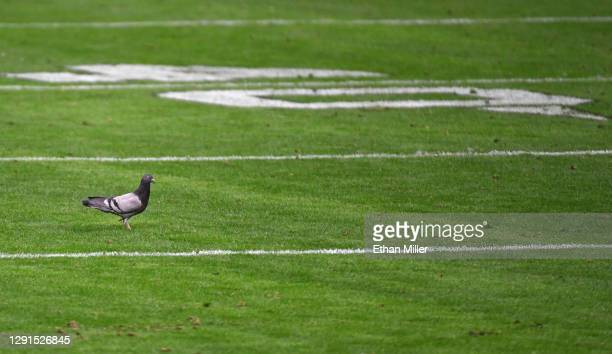 Pigeon stands on the field in the second half of a game between the Indianapolis Colts and the Las Vegas Raiders at glass-domed Allegiant Stadium on...