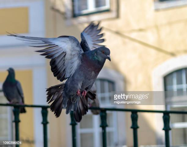 A pigeon stopped in the air