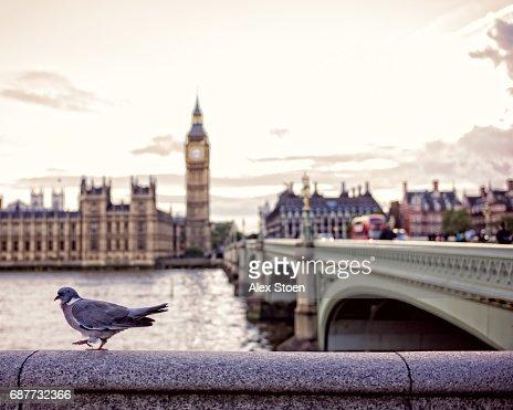 Pigeon walking next to Westminster Bridge, in front of Big Ben