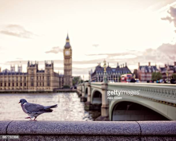 Pigeon walking next to Westminster Bridge, in front of Big Ben