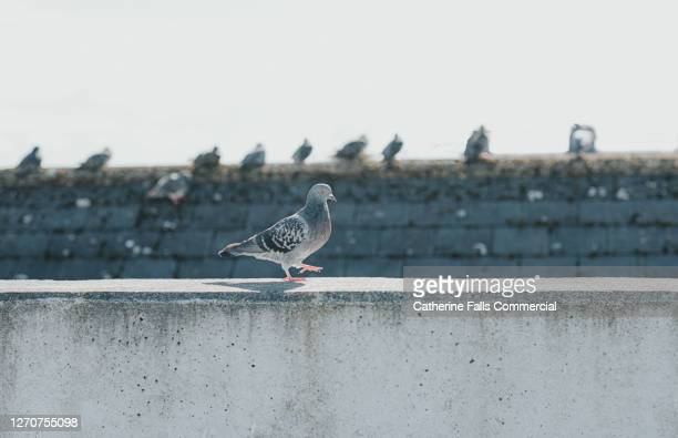 pigeon walking on a wall as other pigeons sit on a roof in the background - street style stock pictures, royalty-free photos & images