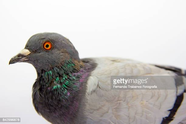 pigeon with white background