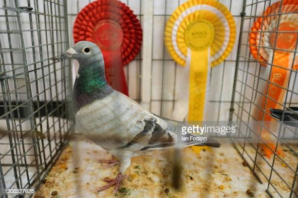 A pigeon with winning rosettes is displayed on the first day of the annual British Homing Pigeon World Show of the Year at Blackpool Winter Gardens...