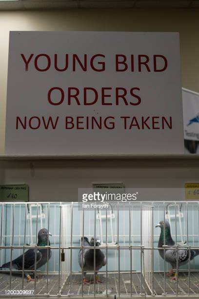 Pigeons are displayed on sale on the first day of the annual British Homing Pigeon World Show of the Year at Blackpool Winter Gardens on January 18...