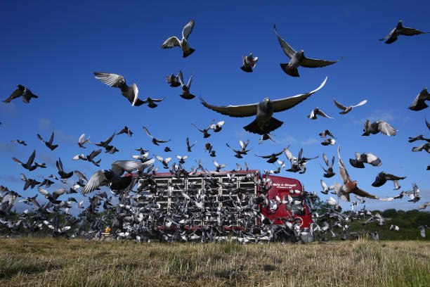 GBR: Pigeon Racing In The UK