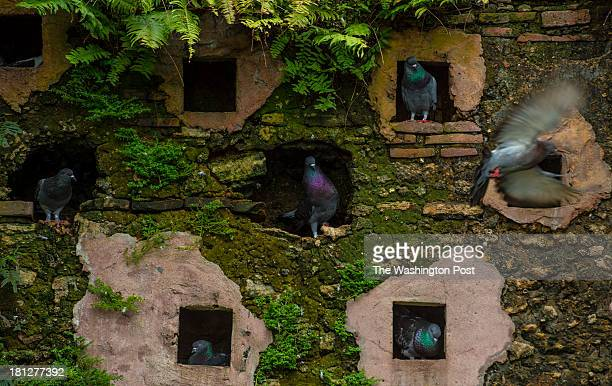 Pigeons are seen in pigeon holes on a stone wall at the Parque De Las Palomas on December 3 2012 in Old San Juan PR