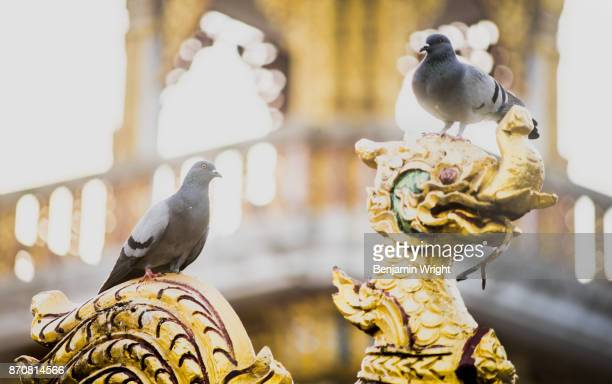 Pigeons at Temple