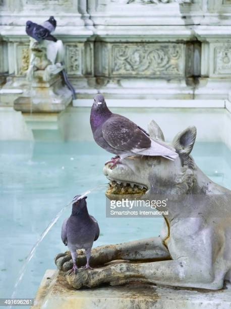 Pigeons drinking from Renaissance fountain, Siena