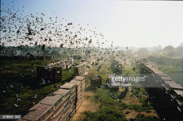 Pigeons emerging from cages at the start of a race