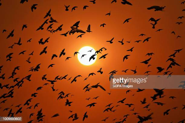 Pigeons fly in the sky during sunset in Srinagar Indian administered Kashmir