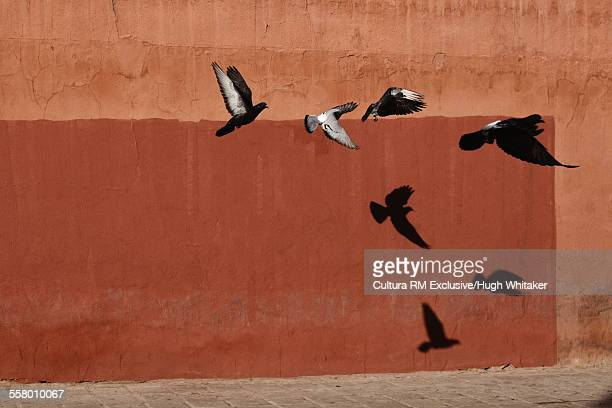 Pigeons flying by wall