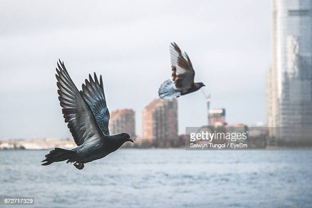 pigeons flying over river against sky - pigeon stock pictures, royalty-free photos & images