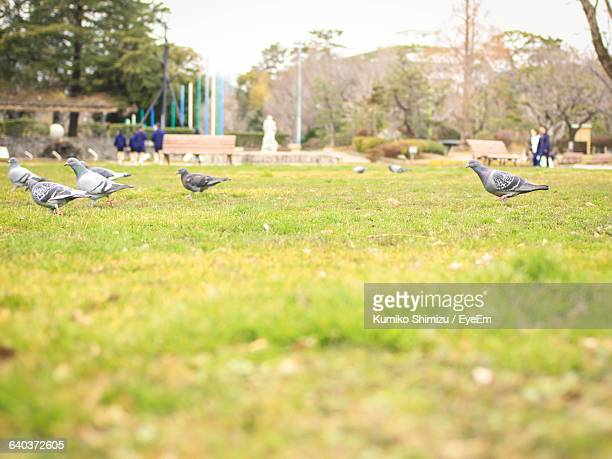 Pigeons Foraging On Grassy Field In Park