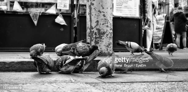 pigeons in the city - medium group of animals stock pictures, royalty-free photos & images