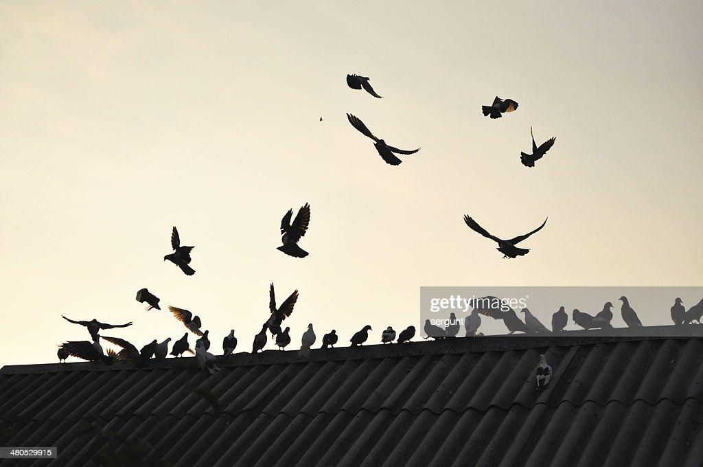 Piccioni nel cielo. : Foto stock