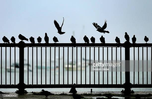 Pigeons line the railing along the shoreline on Columbia Road in South Boston on July 3, 2021.