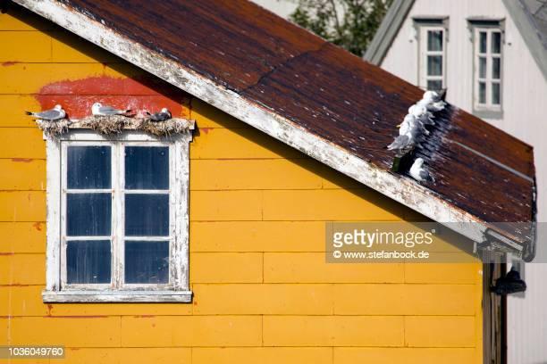 pigeons nusfjord lofoten - landschaft stock pictures, royalty-free photos & images