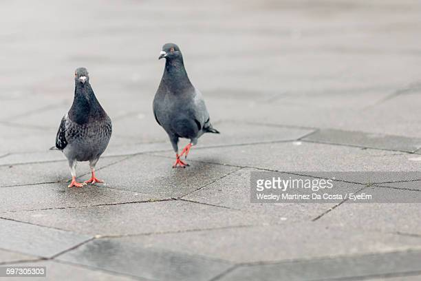 Pigeons On Footpath