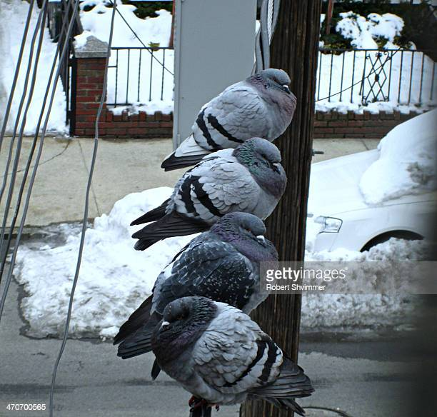 CONTENT] Pigeons on powerlines in BrooklynNY