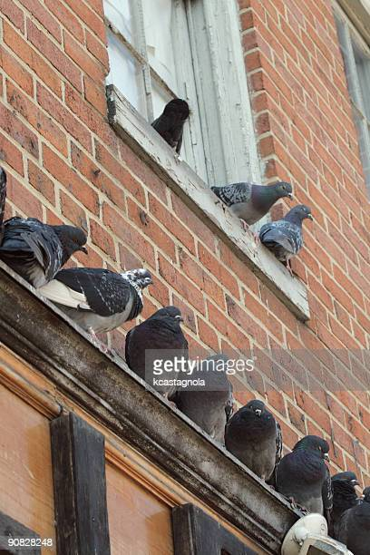 pigeons perched on brick building - perching stock photos and pictures