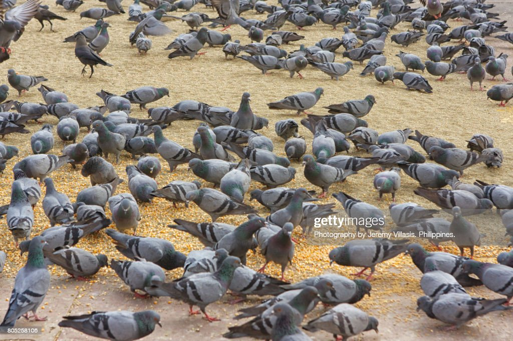 Pigeons : Stock Photo