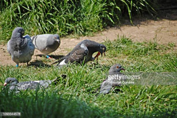 pigeons recreation, dove, playful pets, animal - sebastian grey stock pictures, royalty-free photos & images