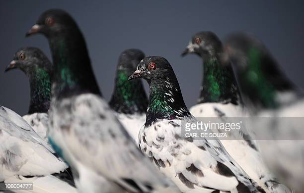 Pigeons sit in their coop in Lahore on October 24 2010 It is estimated that there are over 300000 pigeon fanciers in Lahore which has a population of...