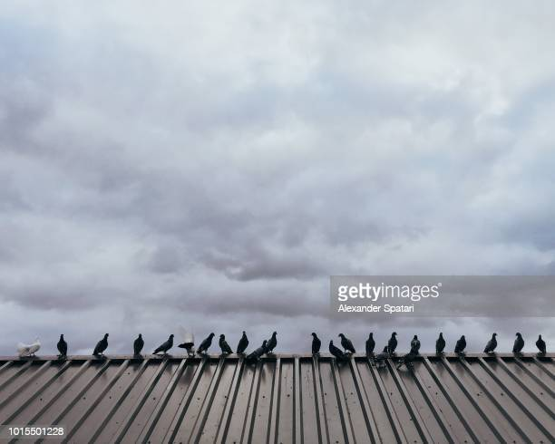 Pigeons sitting on the rooftop in one line