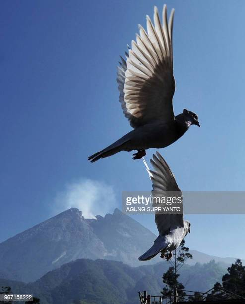 Pigeons take to the air as Merapi volcano continues to emit smoke from its crater on June 4 2018 after spewing volcanic ash for days as seen from...