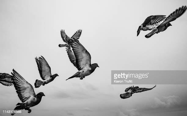 pigeons taking flight - pigeon stock pictures, royalty-free photos & images