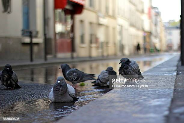 Pigeons With Puddle On Street During Monsoon