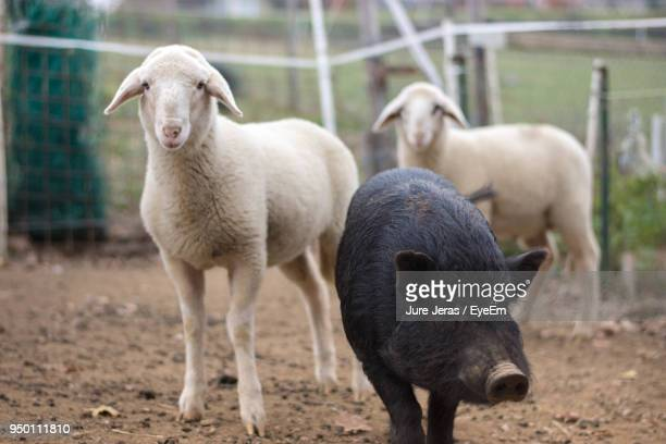 Piglet And Lambs Standing At Farm