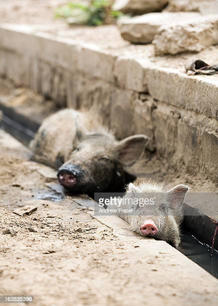 Piglet and pig with an oily snout cooling off in a drain, Jaisalmer, Rajasthan, India, 2011