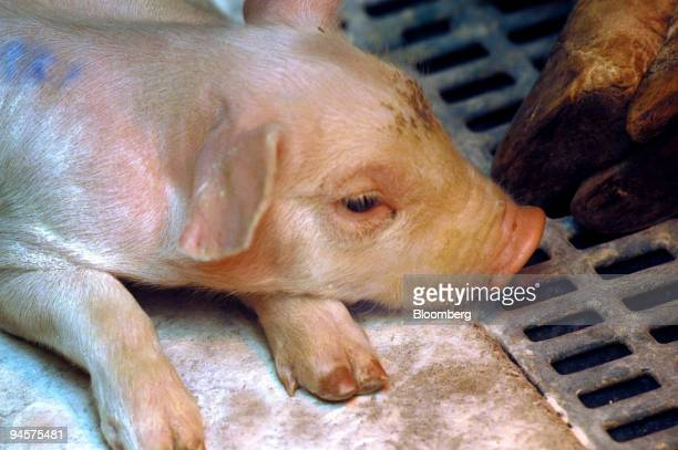 A piglet belonging to farmer Thierry Rondel lies in a pen in the Brittany village of Tredaniel in western France on Thursday Oct 25 2007 Geotexia the...