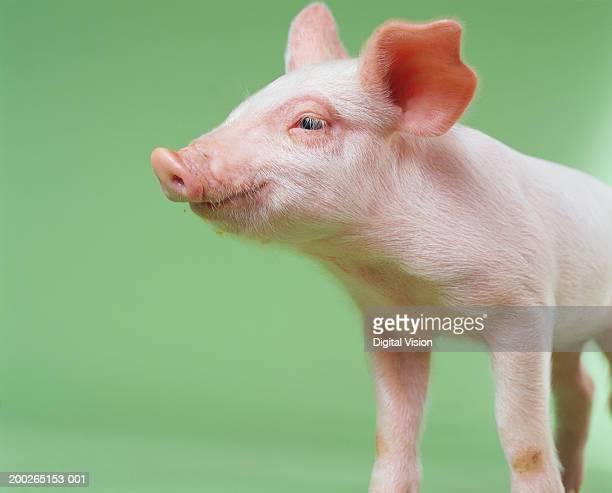 Piglet, close-up