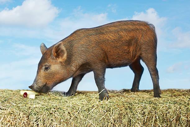 Piglet Eating Wall Art