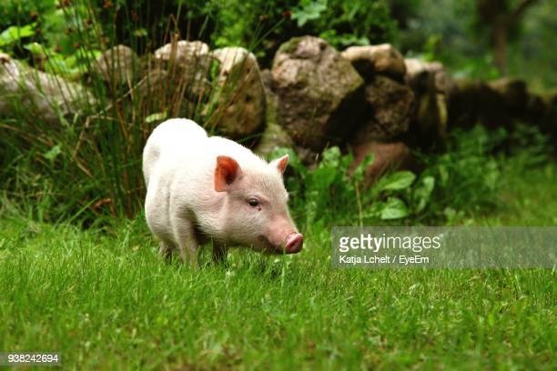 Piglet Grazing On Grassy Field