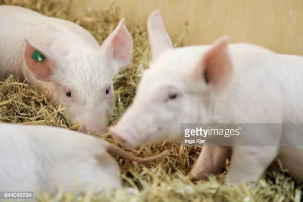 Piglet in a barn on February 06 2017 in Berlin Germany