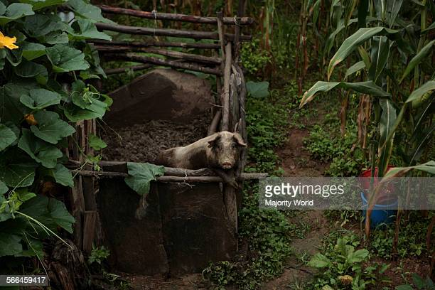 A piglet in a sty in Bandipur Nepal About 70% of the households depend on livestock production for a significant part of their income and as a source...