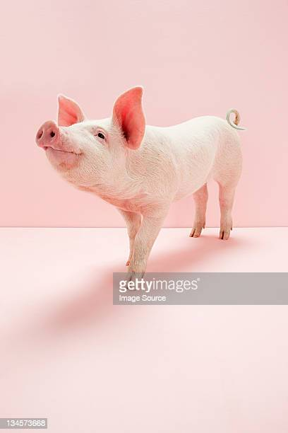 piglet in pink studio - pig stock pictures, royalty-free photos & images