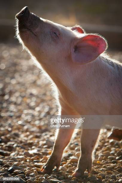 piglet in the morrning - chris putnam stock pictures, royalty-free photos & images