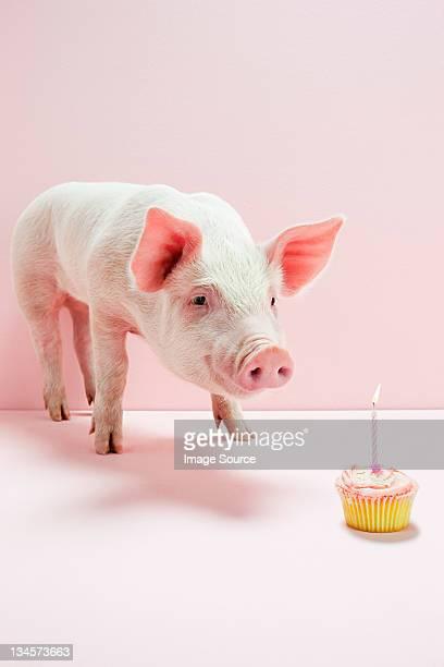 Leitão Olhando no bolo de aniversário no studio