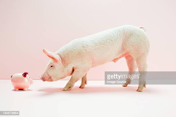 Piglet looking piggybank in studio