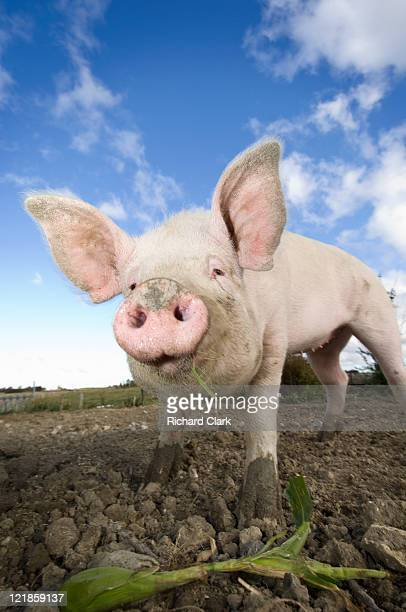 Piglet (Sus scrofa domesticus) on farm, UK