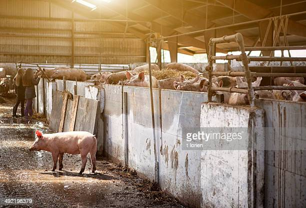 piglet on the run. - pig stock photos and pictures