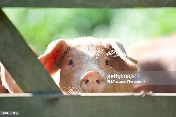 Piglet peeping through gate