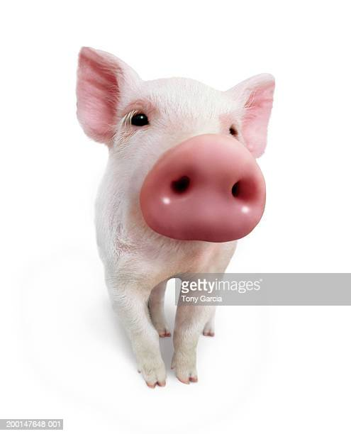 piglet (wide angle, digital composite) - pig nose stock pictures, royalty-free photos & images