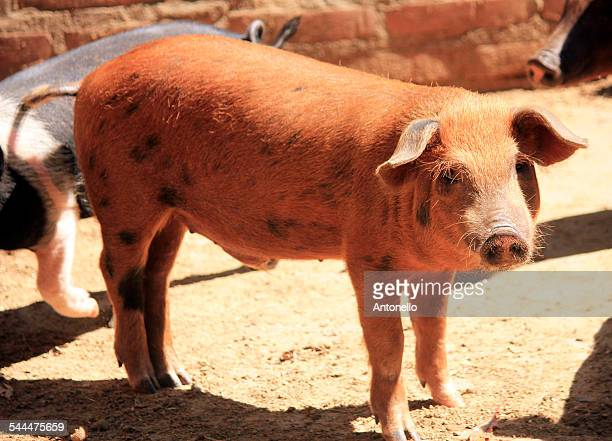 piglet - lechon stock photos and pictures