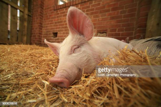 piglet - pig stock pictures, royalty-free photos & images